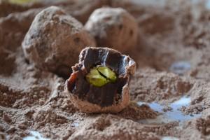 truffe pistache